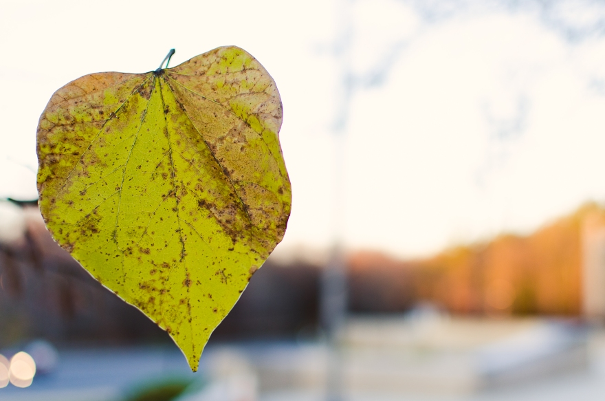 November 3 - I voted today, but first I got to marvel at the few leaves stubbornly clinging to life outside of work. This one wore its heart on its sleeve.
